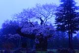 朝霧の謙信の逆さ桜