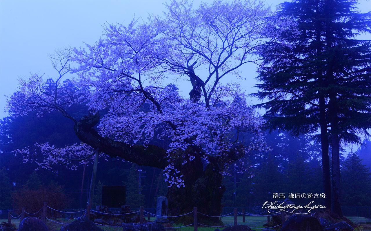 朝霧の謙信の逆さ桜 壁紙