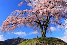 群馬県の桜