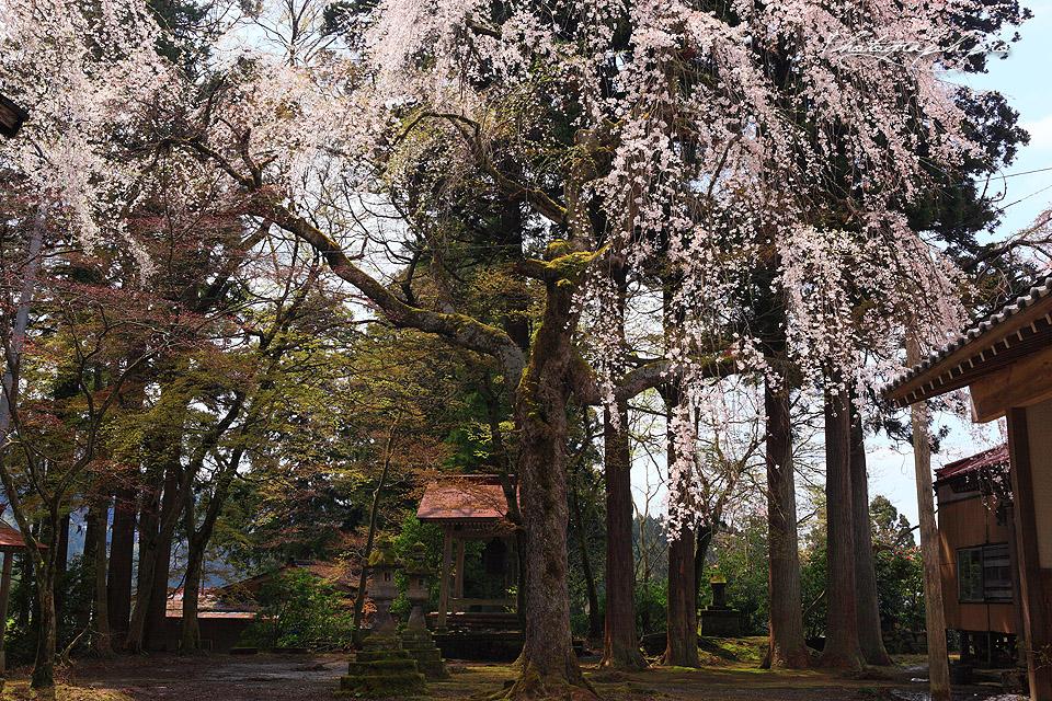 浄法寺の乳母桜紀行