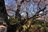 石部桜の根元の妙