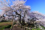 お花見日和の石部桜