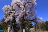 会津美里町 桜と法用寺仁王門