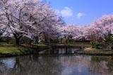 伊佐須美神社外苑の桜