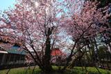 極楽寺の野中桜
