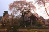 昌建寺のしだれ桜