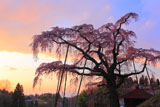 夕焼けの紅しだれ地蔵桜