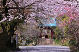 光則寺の桜と桃