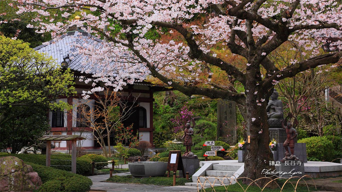 鎌倉長谷寺のサクラと経蔵 壁紙