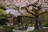 鎌倉長谷寺のサクラと経蔵