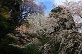 安国論寺 桜と御小庵