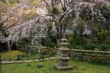 東慶寺 本堂前庭のしだれ桜