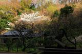 東慶寺 古井戸と桜