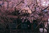 本覚寺 シダレザクラと本堂