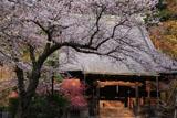 妙本寺 桜と祖師堂