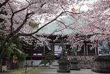 鎌倉長勝寺 桜と本堂