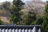 寿福寺 亀谷山の桜
