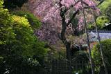 鎌倉英勝寺のシダレザクラ