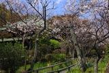 鎌倉英勝寺の桜