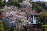 鎌倉薬王寺 鐘楼と桜