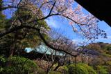 鎌倉浄光明寺 桜と不動堂