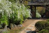 海蔵寺 ユキヤナギと小門