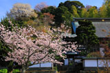 桜咲く建長寺妙高院