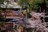 桜と円覚寺山門