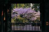 円覚寺勅使門越しの桜
