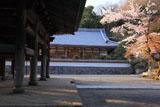 桜咲く円覚寺山門と松嶺院