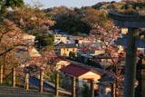 鎌倉山ノ内 八雲神社の桜