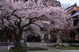 長谷寺の桜と大黒堂