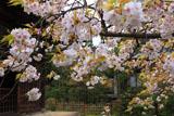 常楽寺 枝垂れ桜