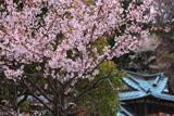 桜と鎌倉多聞院