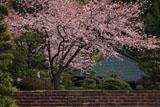 大長寺 桜と本堂
