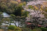 鎌倉大長寺 桜と客殿