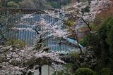 鎌倉西念寺 サクラと本堂