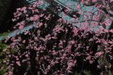 青蓮寺 紅枝垂桜と本堂