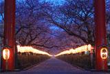 若宮大路 二の鳥居越しの段葛桜並木