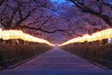 若宮大路 段葛桜並木と献灯