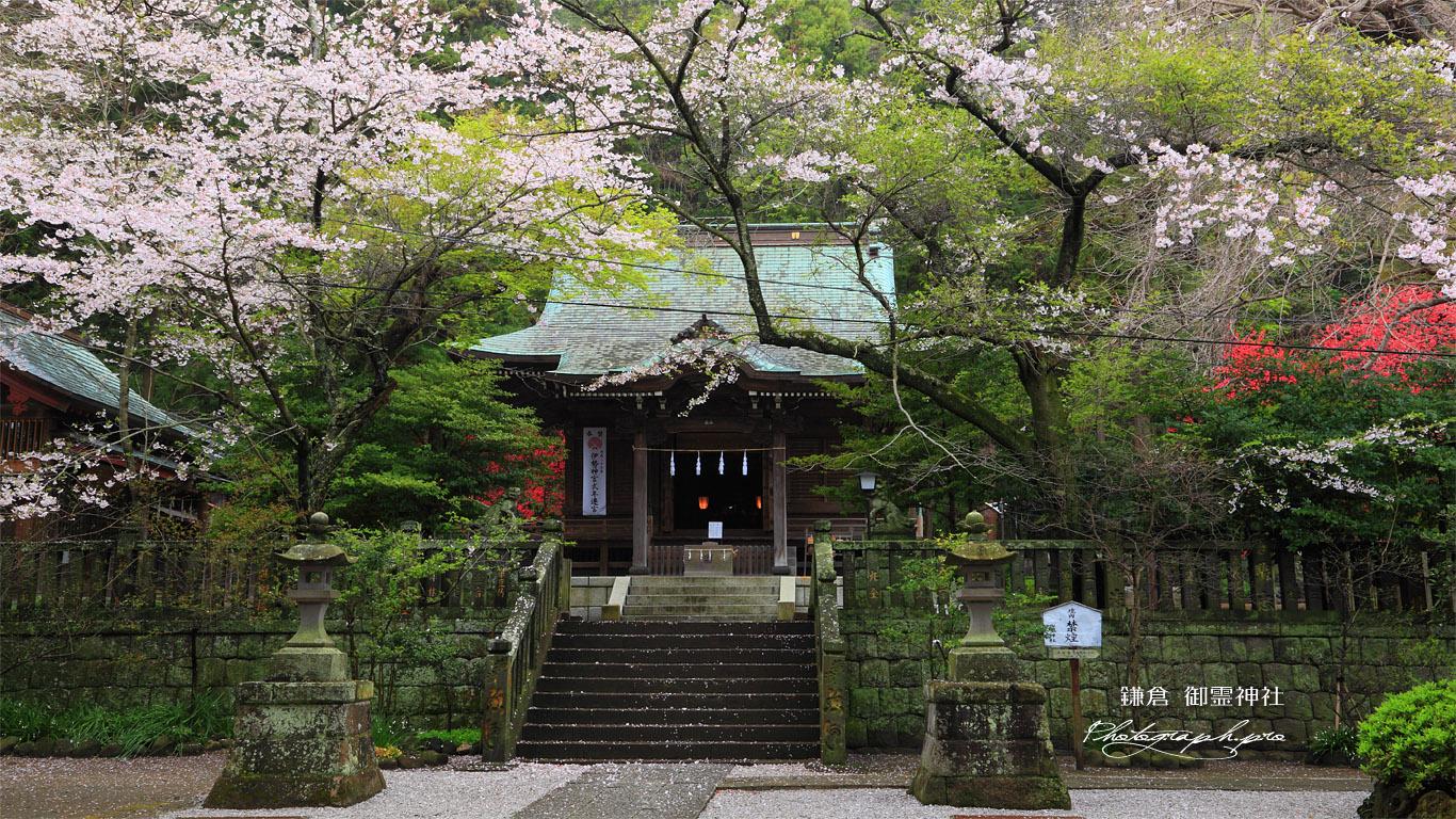 鎌倉御霊神社 桜と拝殿 壁紙
