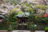 鎌倉御霊神社 桜と拝殿