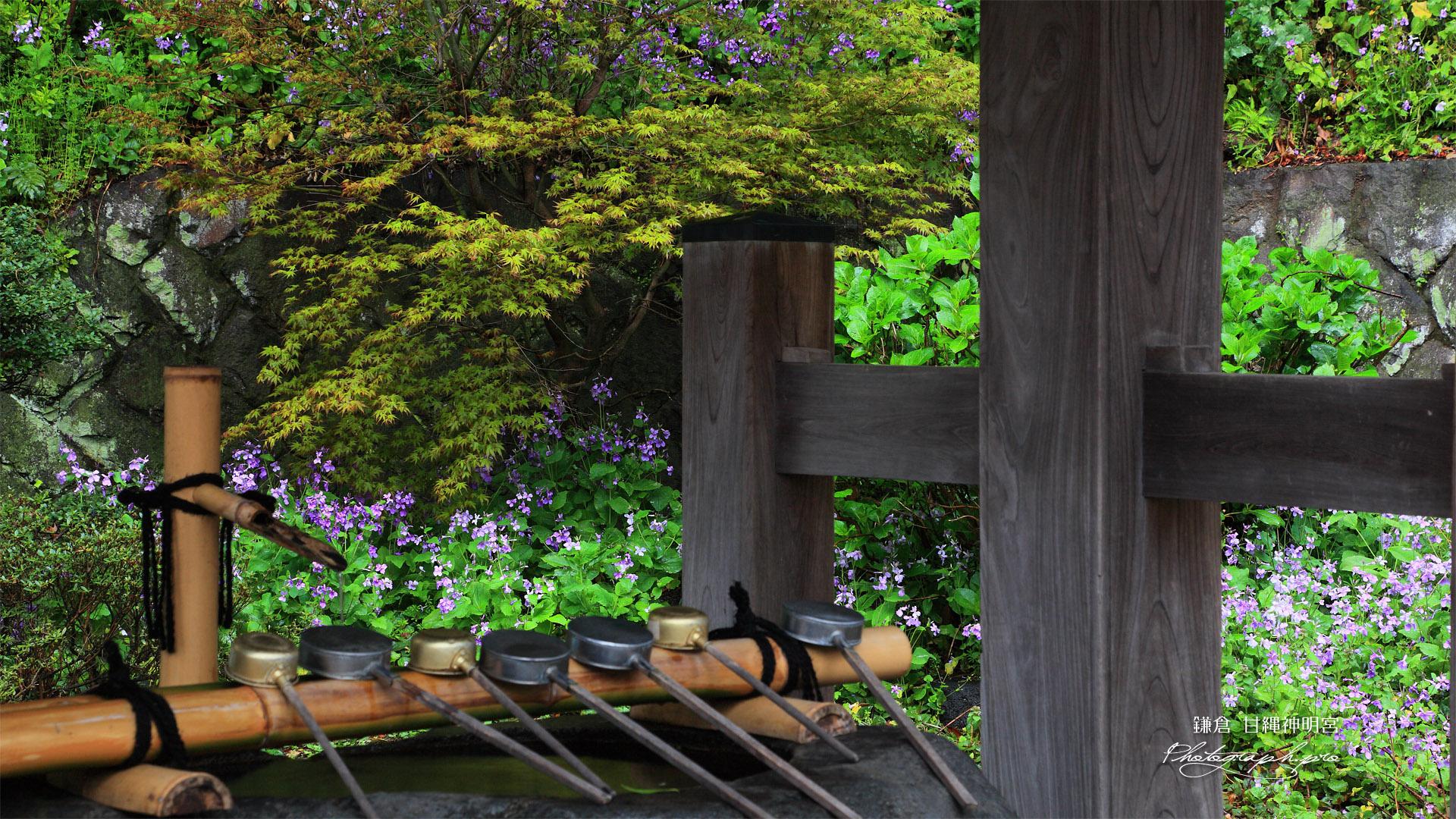 鎌倉甘縄神明神社 手水舎とハナダイコン