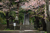 鎌倉甘縄神明神社 散桜の参道