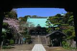龍口寺 山門越しに桜咲く境内