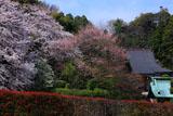 鎌倉久成寺 サクラ咲く境内