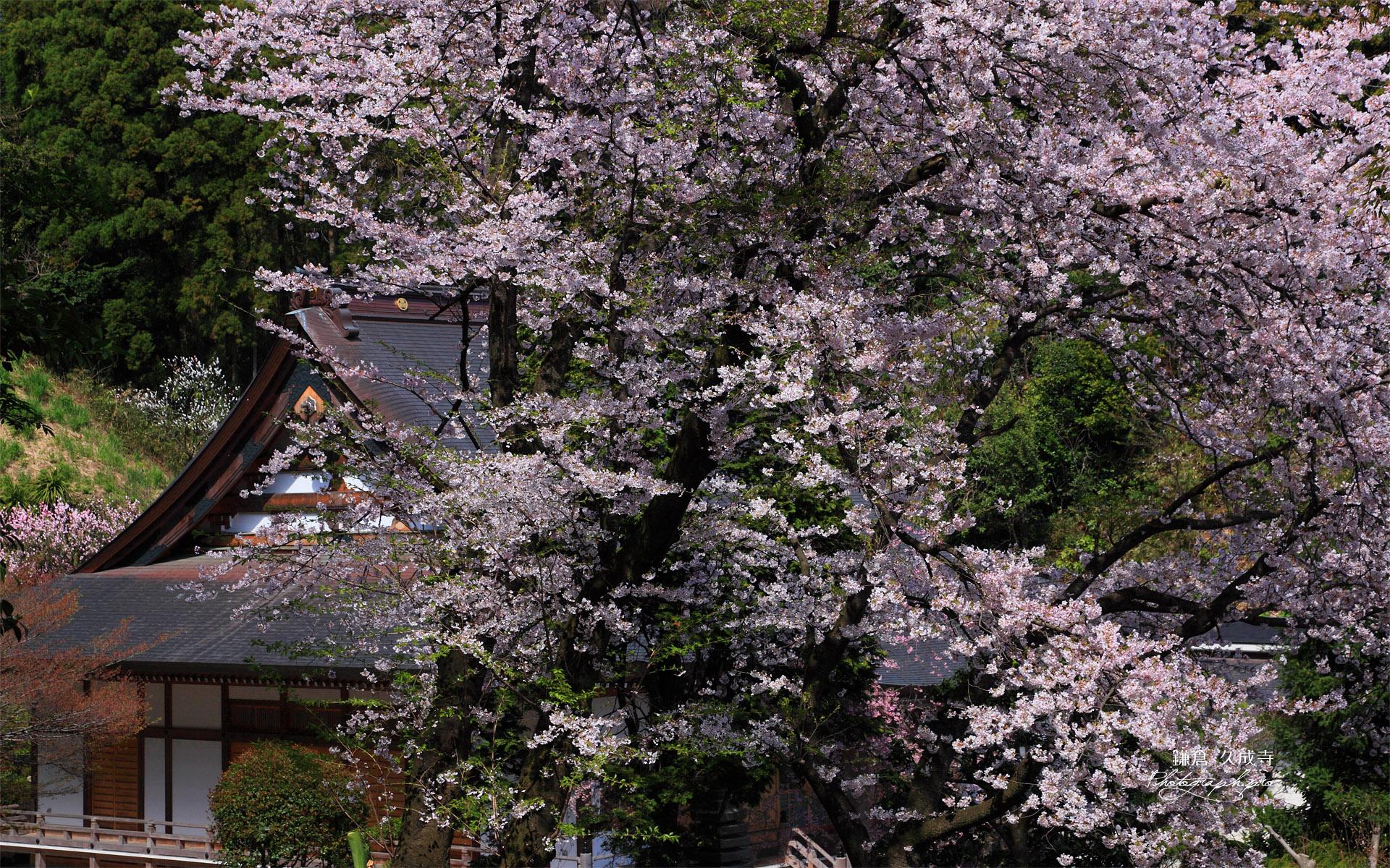 鎌倉久成寺 桜越しの本堂