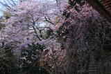 久成寺 紅枝垂桜と染井吉野