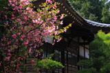 鎌倉円光寺 海棠と本堂