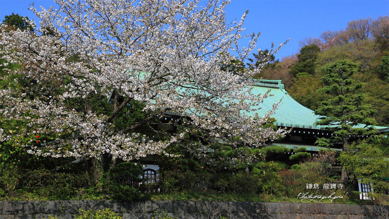 鎌倉龍宝寺の大島桜と本堂 壁紙